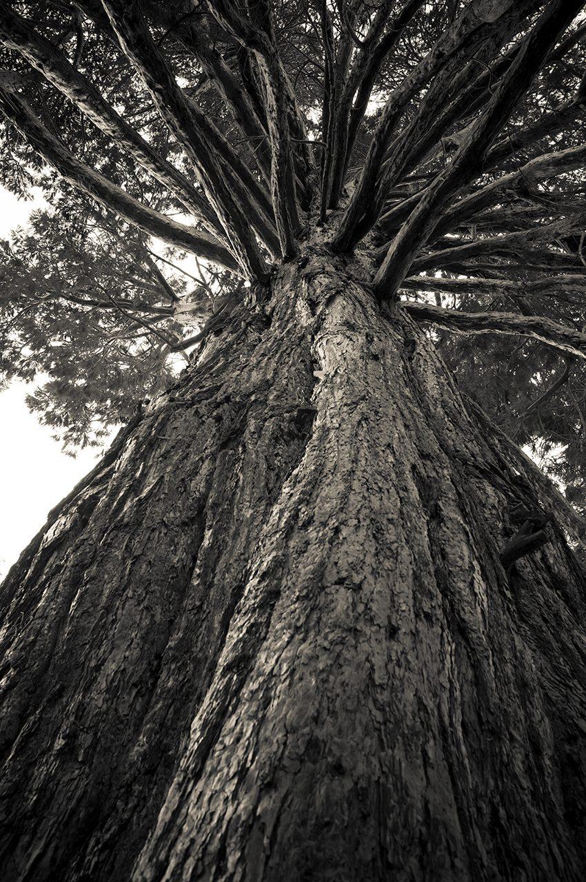 Giant Redwood Tree At Wanaka Station